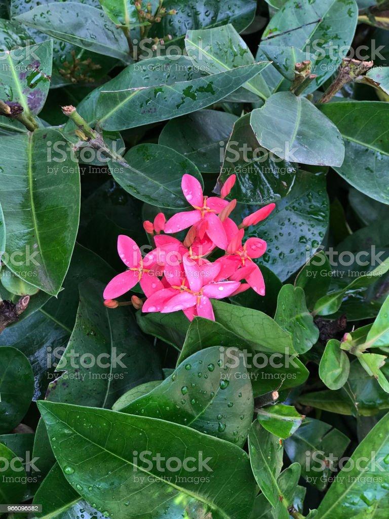 Ixora Blumen rosa. - Lizenzfrei Baumblüte Stock-Foto