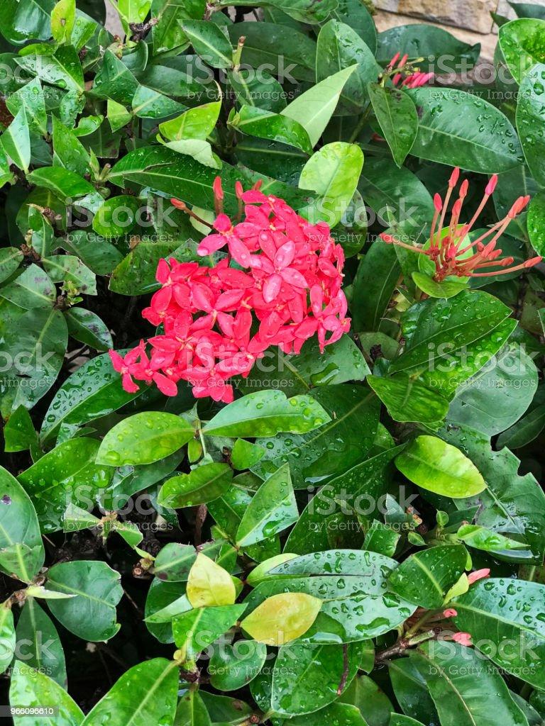 Pink Ixora flowers. - Royalty-free Biodiversity Stock Photo