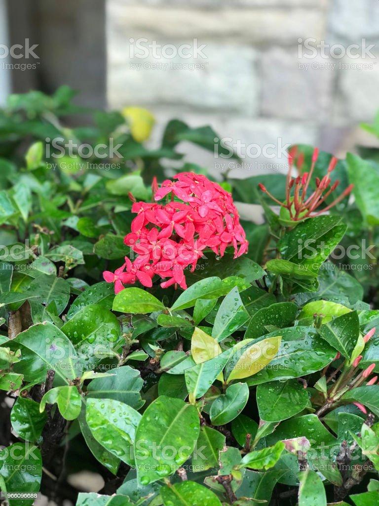 Roze Ixora bloemen. - Royalty-free Beschrijvende kleur Stockfoto