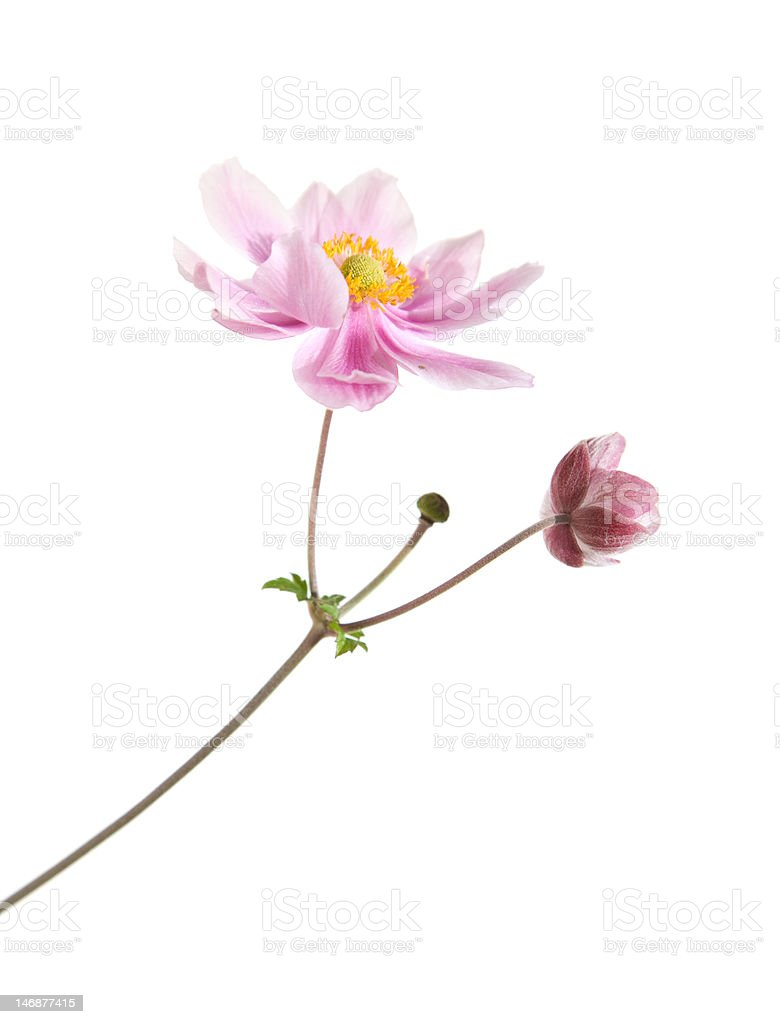 pink japanese anemone branch royalty-free stock photo
