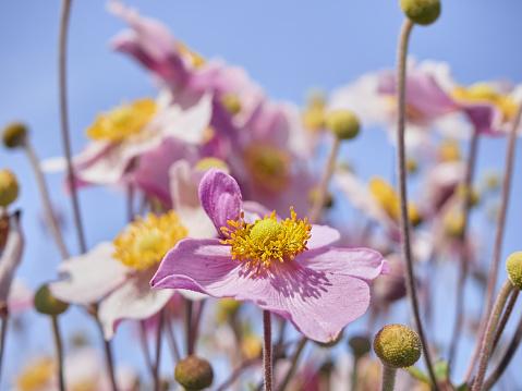 istock Pink japanese anemone flowers in bloom. 1216606372