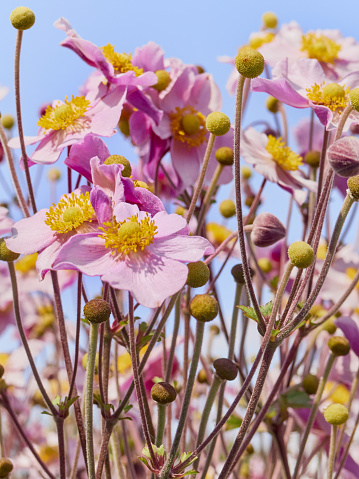 istock Pink japanese anemone flowers in bloom. 1216606533