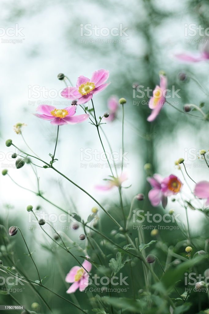 Pink Japanese Anemone royalty-free stock photo