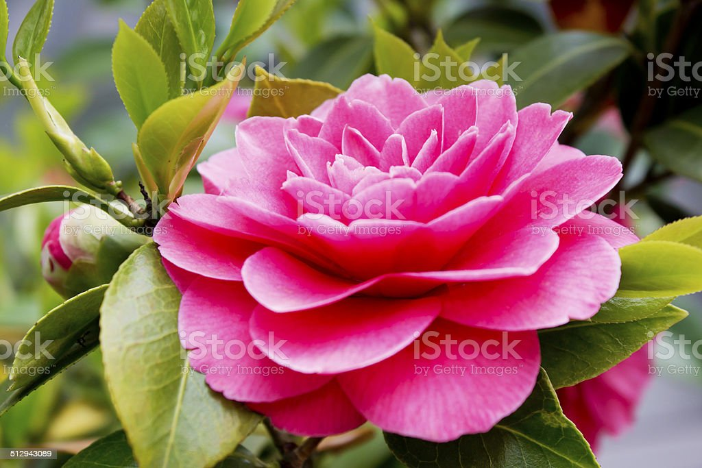 Pink japanese camellia flower close up stock photo