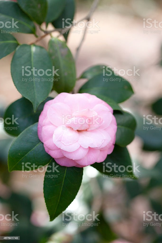 Pink Japanese camellia flowers stock photo