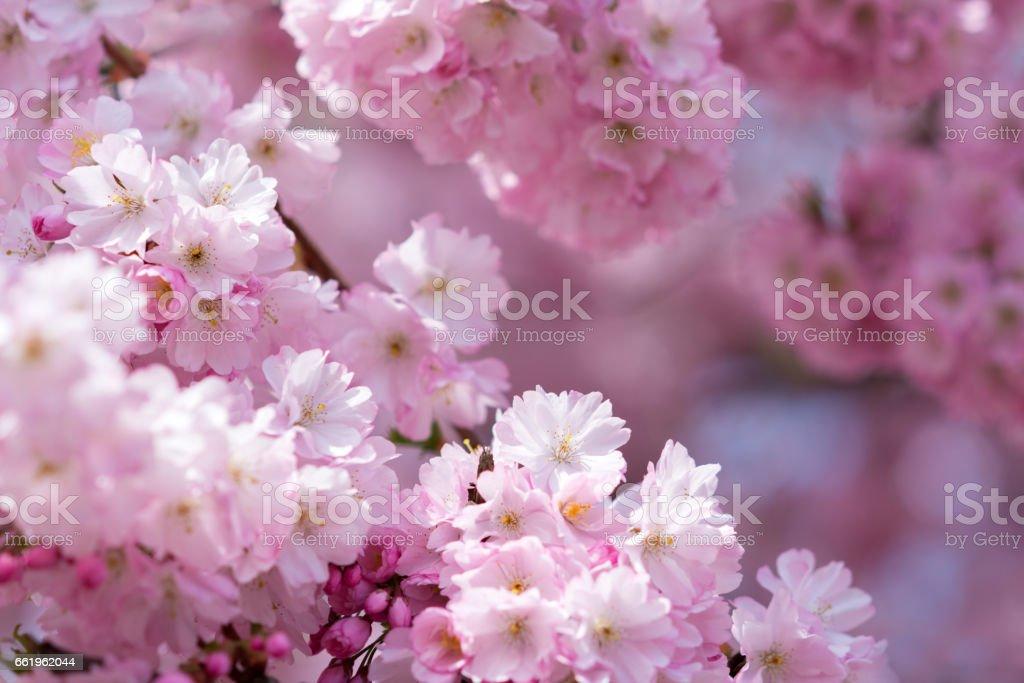 8f455a888 rosa flores de cerezo japonés en luz del sol de primavera foto de stock  libre de