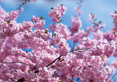 pink japanese cherry blossoms in spring sunlight