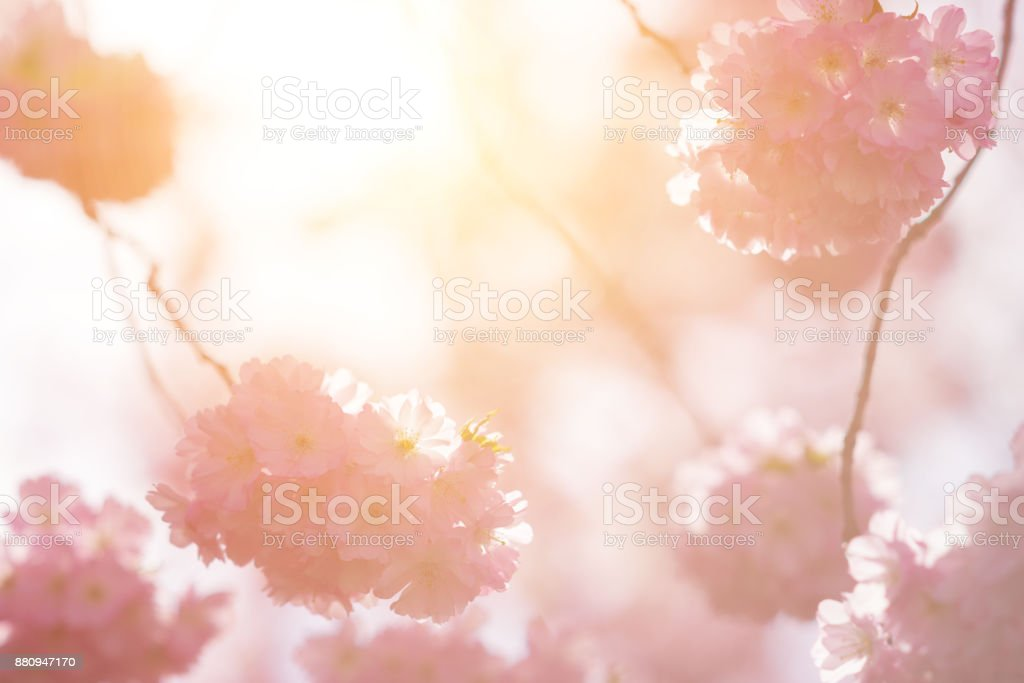 pink japanese cherry blossoms in spring sunlight stock photo