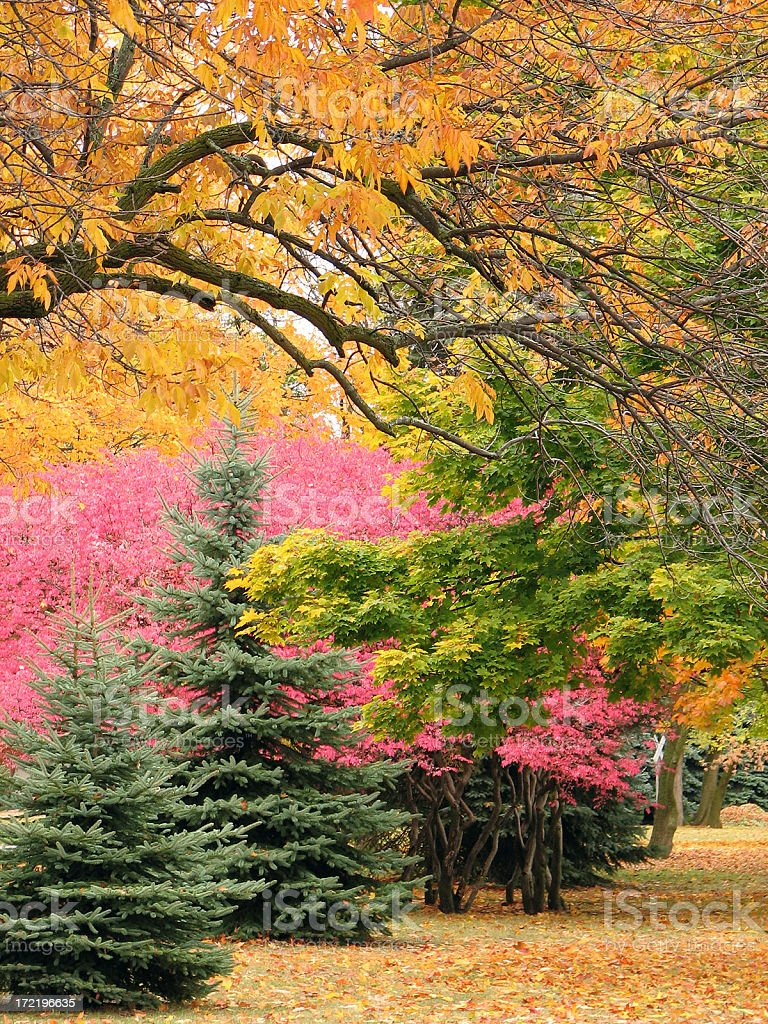 Pink Japanese Maples in Autumn Scenic royalty-free stock photo