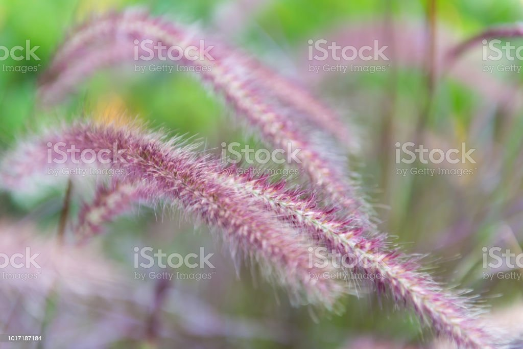 pink knot root stock photo