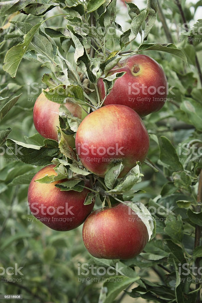Pink lady apples in an orchard stock photo