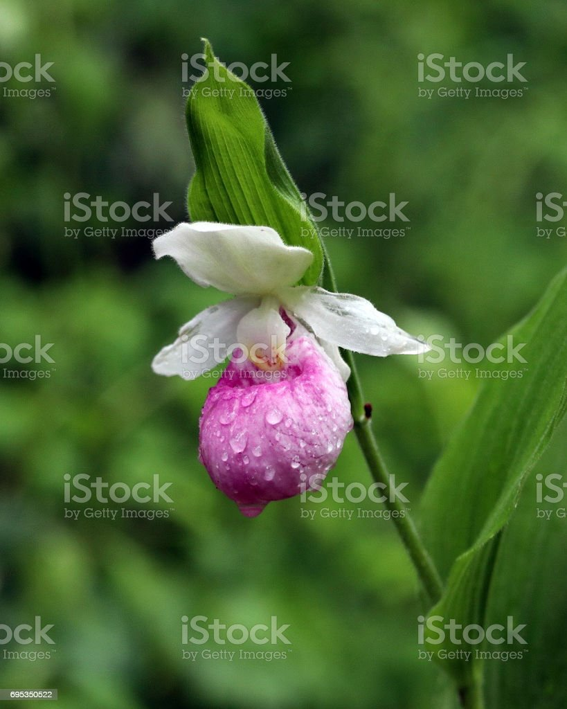 Pink Lady's Slipper stock photo