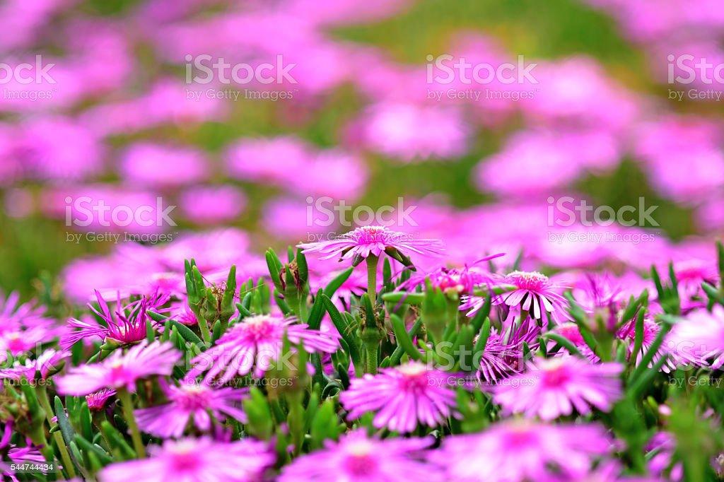 Pink Lampranthus flowers - foto de stock