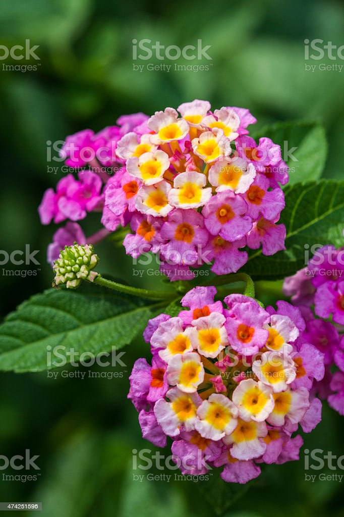 pink lantana flower stock photo