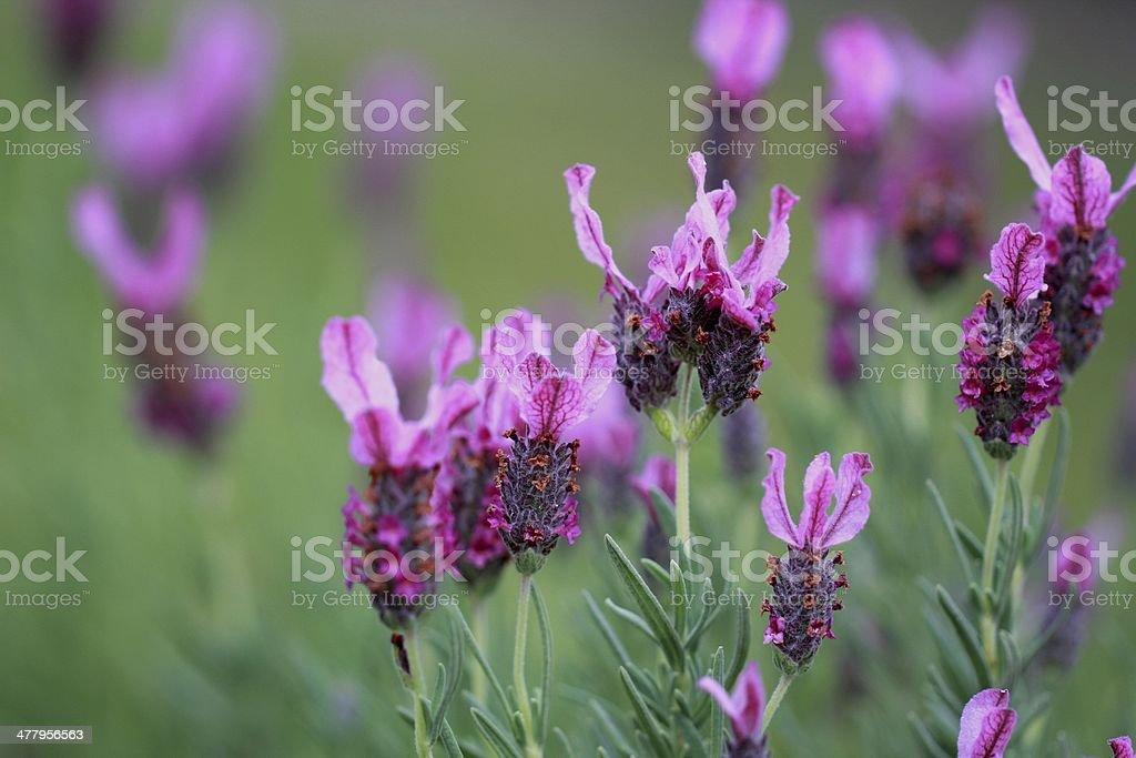 Pink lavender royalty-free stock photo