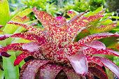 Pink leaves of Bromeliad ( Aechmea Fasciata )