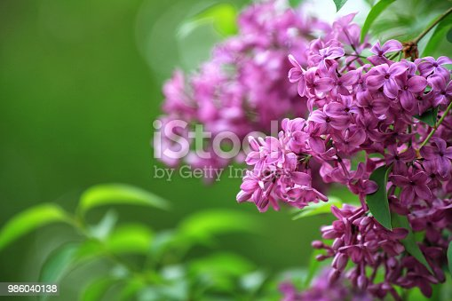 Pink lilac flower blooms (Syringa vulgaris) with green background and copy space
