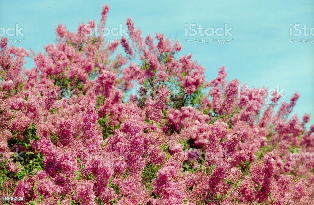 Pink lilac tree in bloom with sky behind. Shot on film royalty-free stock photo