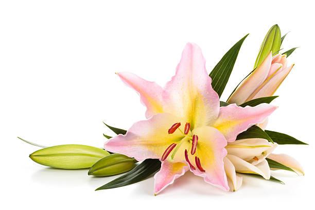 Pink lilies picture id506702326?b=1&k=6&m=506702326&s=612x612&w=0&h=ljsadblz39jfbya4i64a5mdkjfowfdl2zzyfhtd abo=
