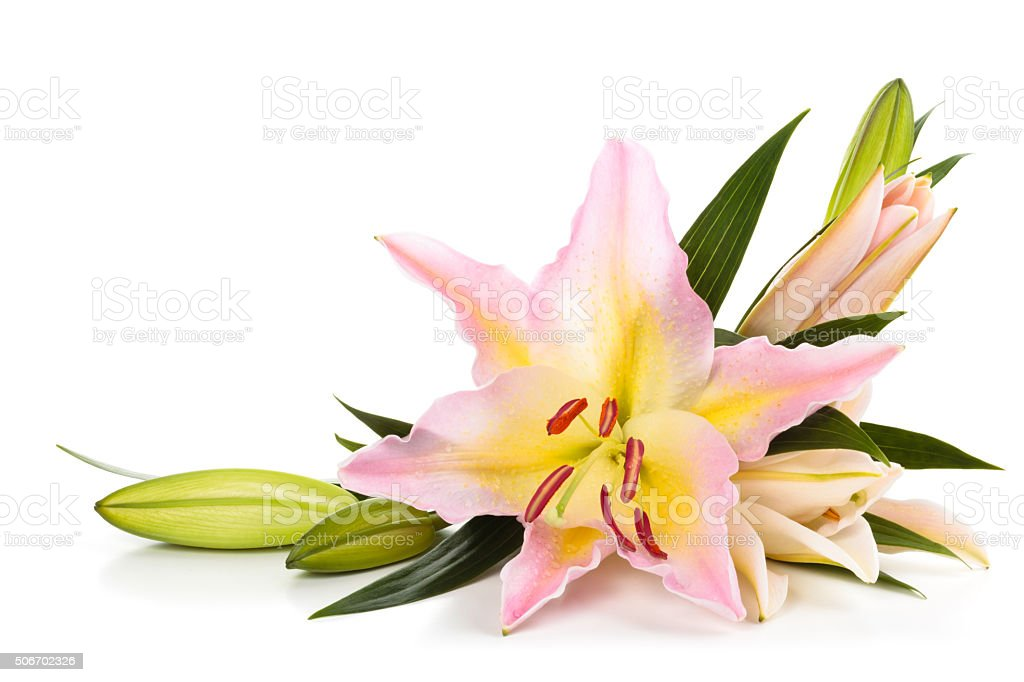 Pink lilies. stock photo