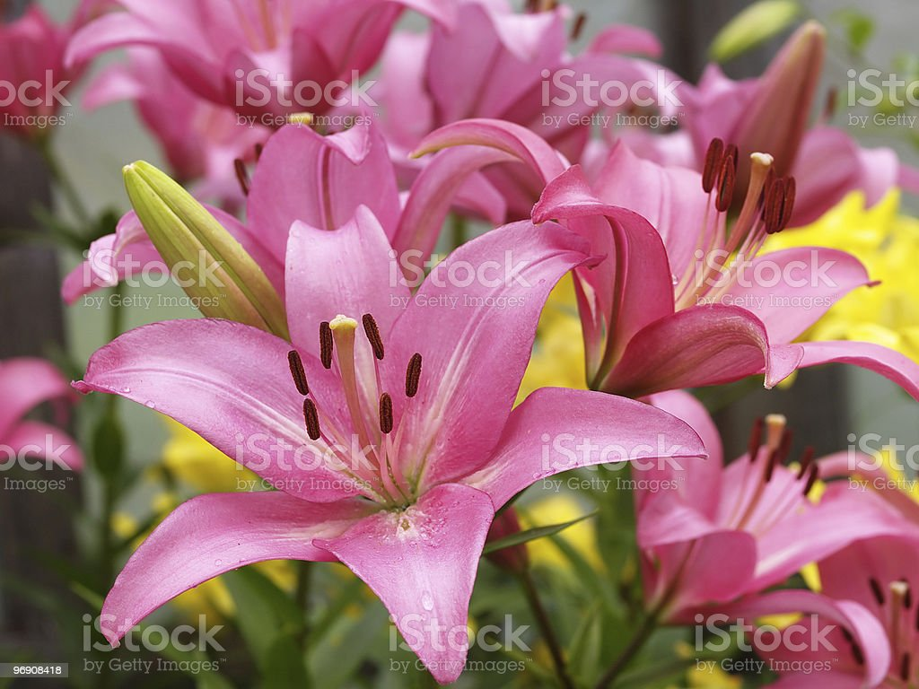 Pink lilies royalty-free stock photo