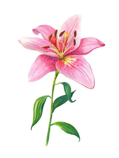 rosa lilien. florale illustration - gartenillustration stock-fotos und bilder