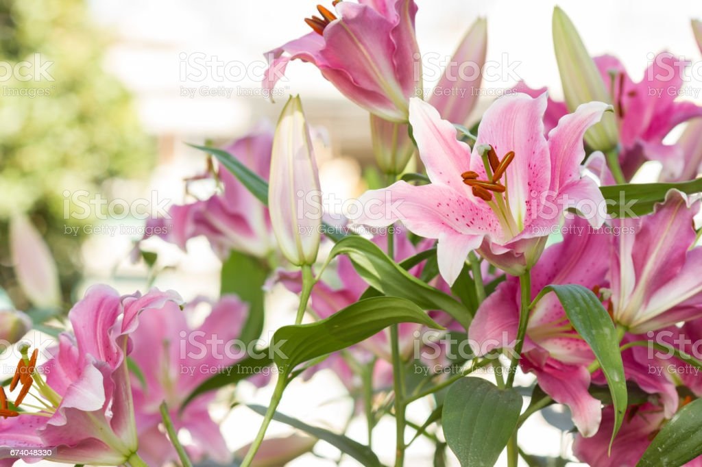 pink Lilly flower in the garden royalty-free stock photo