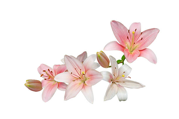 Pink Lily Bouquet Pink lily flower bouquet isolated on white background lily stock pictures, royalty-free photos & images