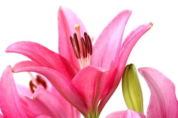 ピンクの lily ストックフォト