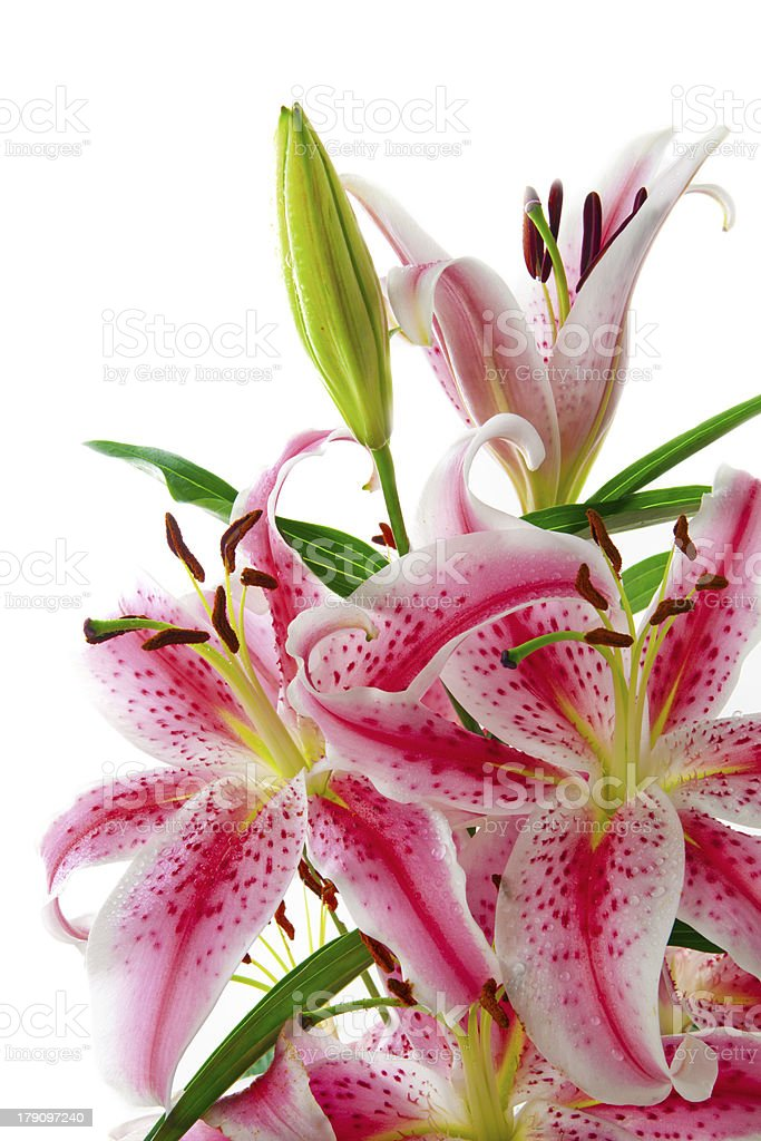 Pink Lily. royalty-free stock photo