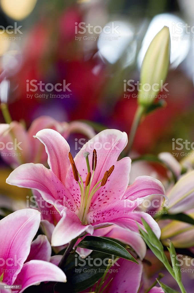 Pink lily royalty-free stock photo