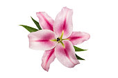 pink lily with green leaves, isolate on a white background, close-up