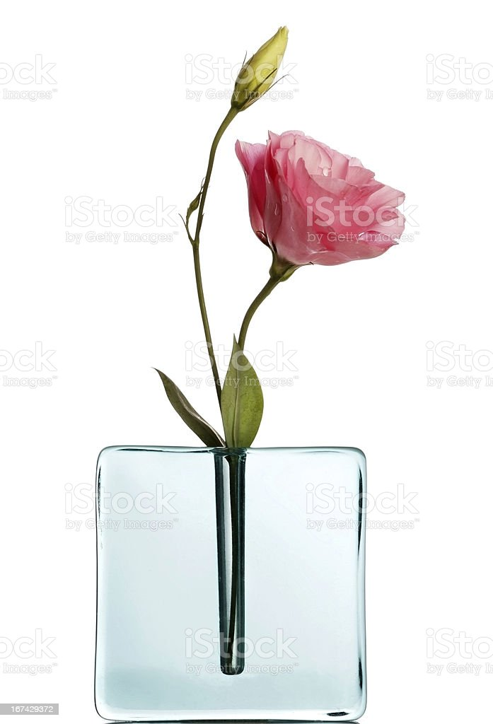Pink lisiantus in blue vase on white stock photo