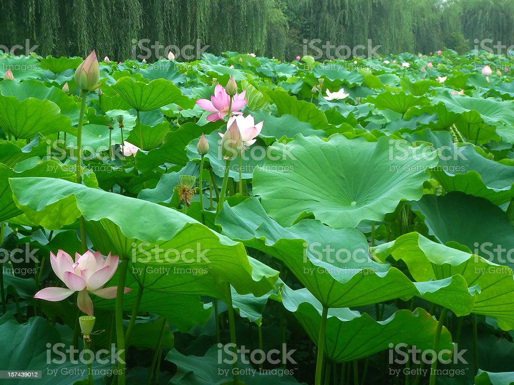 Pink lotus and green leaf royalty-free stock photo