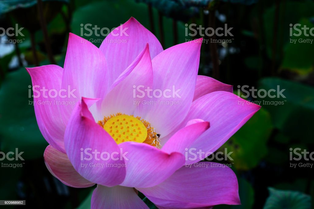 Pink Lotus background stock photo