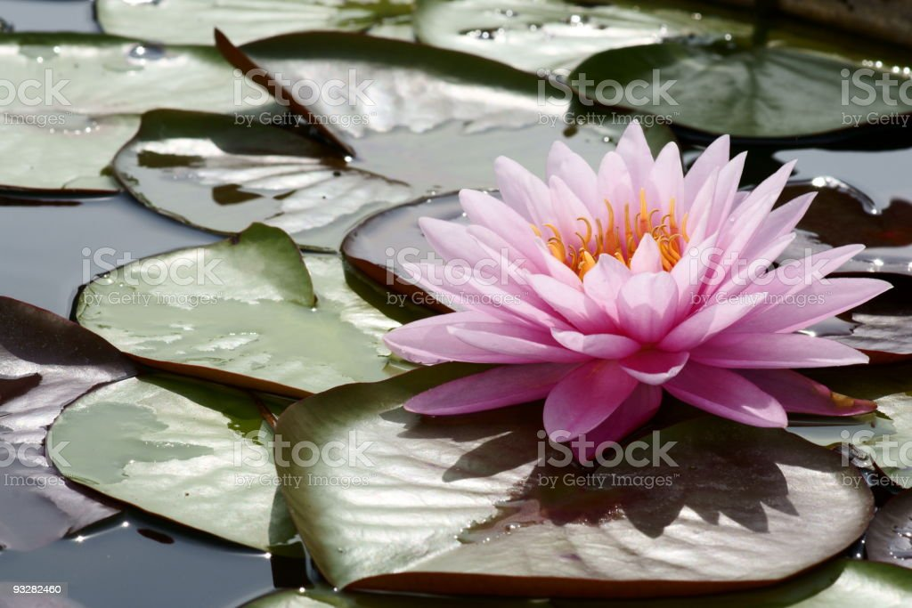 Pink lotus blossom royalty-free stock photo
