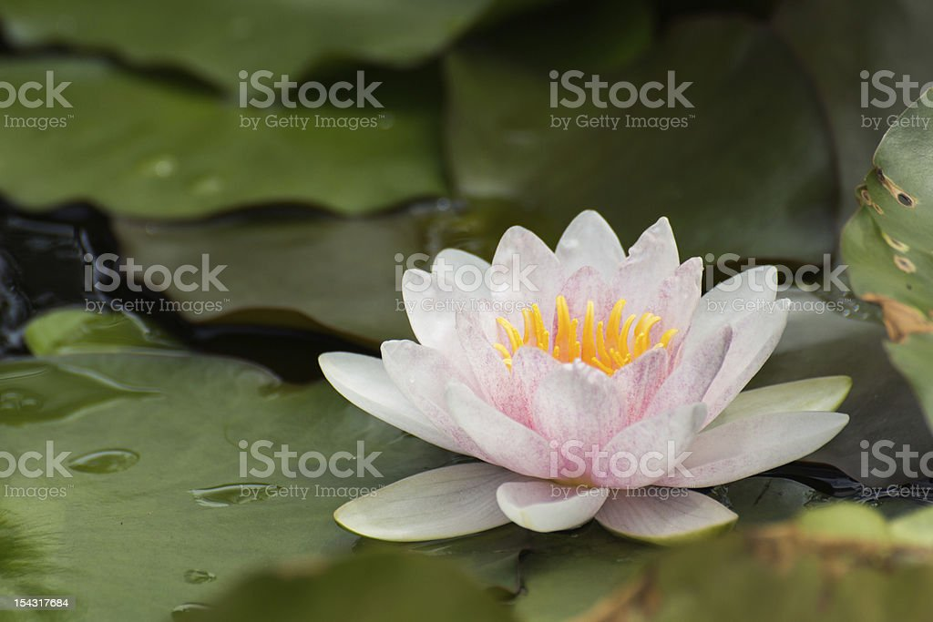 Pink lotus blossoms or water lily flowers blooming on pond royalty-free stock photo