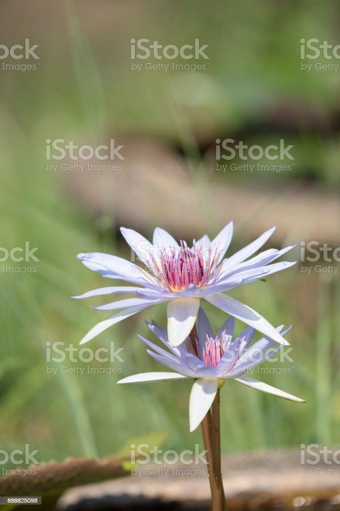 Pink lotus blossoms or water lily flowers stock photo