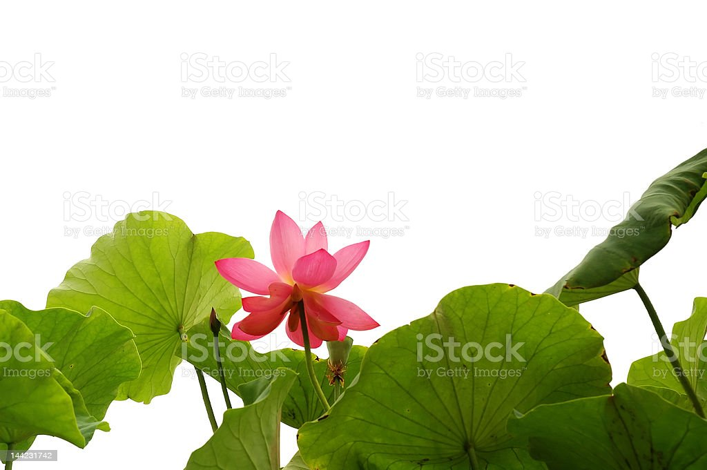 Pink Lotus Border royalty-free stock photo