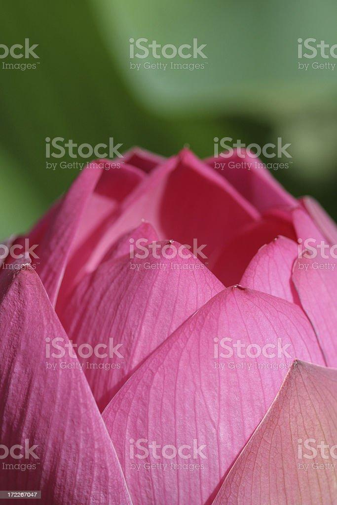 pink lotus bud stock photo
