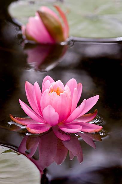 Pink lotus flower 2 stock photo