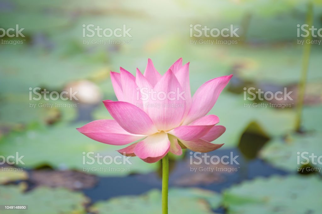 Pink Lotus Flower Blooming Among Lush Leaves In Pond Under Bright