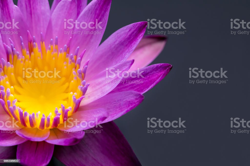 Pink Lotus Flower Blooming On A Black Background Stock Photo More
