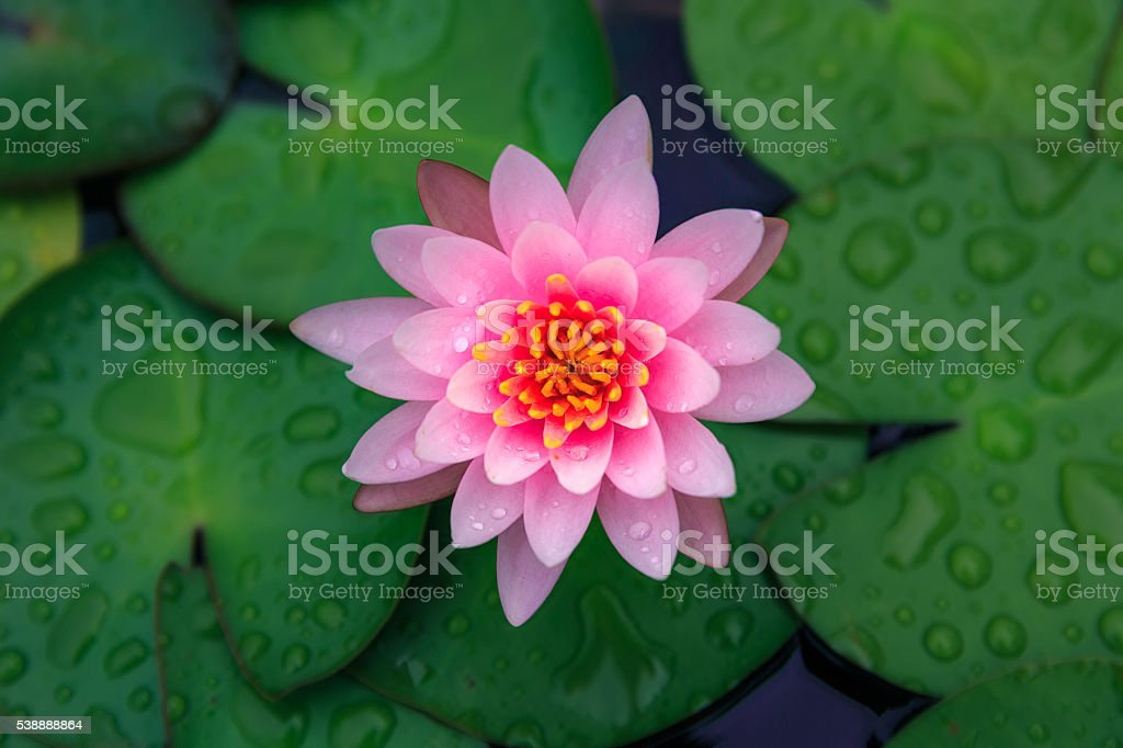 Pink lotus flower blooming stock photo
