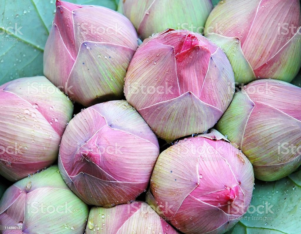 Pink lotus  flower buds used for religious  offerings in Thailand royalty-free stock photo