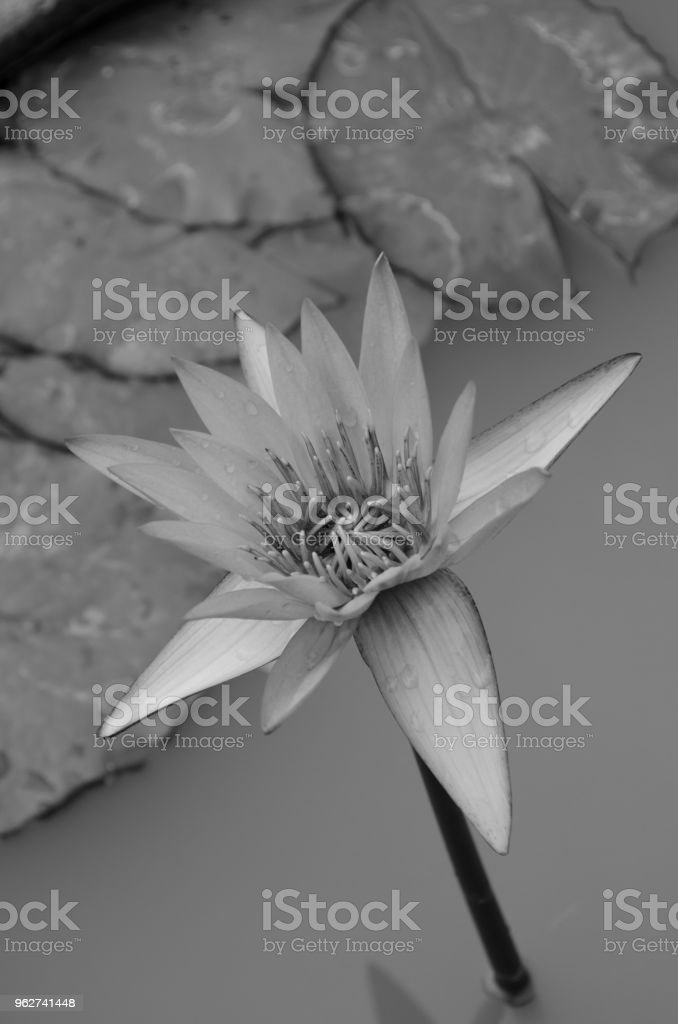 pink Lotus Flower float in the bloom - Foto stock royalty-free di Aspetto naturale