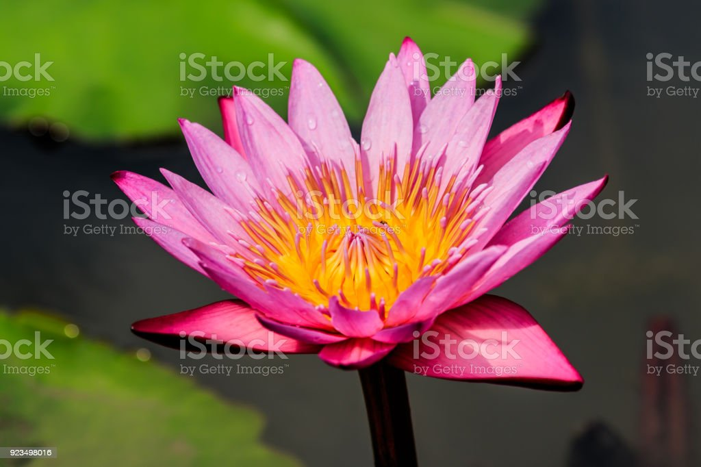 Pink Lotus Flower in the pond in thegarden. stock photo