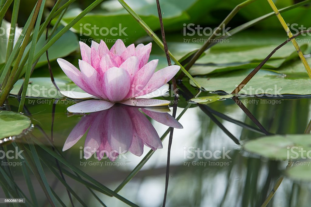 Pink lotus flower on a pond stock photo
