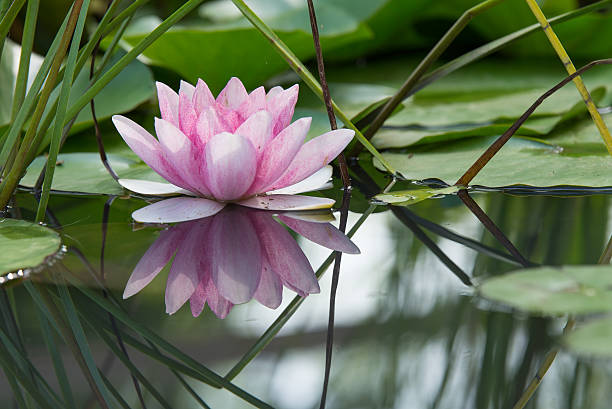 Pink lotus flower on a pond Pink lotus flower waterlily mirrored in the water of a pond water lily stock pictures, royalty-free photos & images