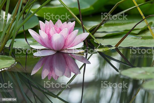 Photo of Pink lotus flower on a pond